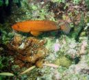 Squaretail Coral Grouper