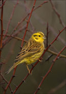 YELLOWHAMMER IN HAWTHORN