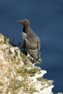 21ST June. Guillemot. Bempton Cliffs
