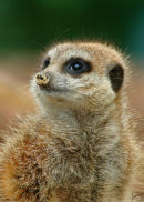 Meerkat at Paignton Zoo
