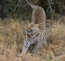 Leopard at Simbambili