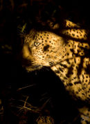 Leopard through the grass