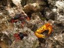 Migrating crabs, Playa Giron