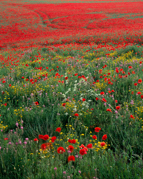 'Wild Flowers and Poppies'