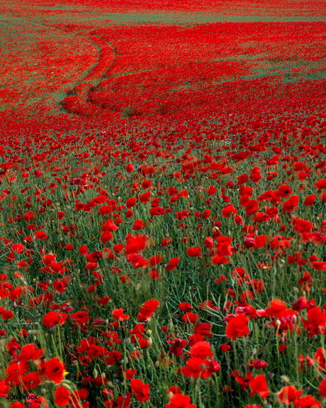 'Poppies in the Wolds'