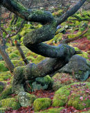 'Oak Tree at Padley Gorge'