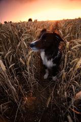 Jet in a Wheat field