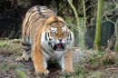 Disgruntled Tiger