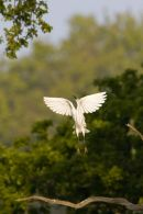 Little_Egret