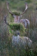 "Rutting Fallow Stags ""In The Book"" BWPA 2011"