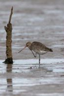 Black-tailed_Godwit