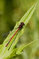 Large_Red_Damselfly