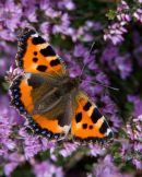 Small_Tortoiseshell_Butterfly