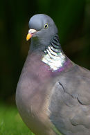 Wood_Pigeon_Portrait_1