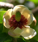 Magnolia_Flower_1