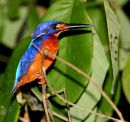 Kingfisher_Borneo_Night_Safari