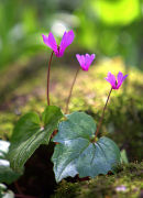 Cyclamen_1
