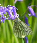 Green_Veined_White