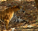 Running_Tiger_India