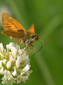 Skipper_Butterfly_1