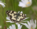Marbled_White_Butterfly