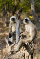 Chilling_Langurs_India