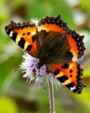 Small_Tortoise_Shell_Butterfly