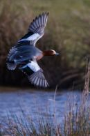 Wigeon_in_Flight