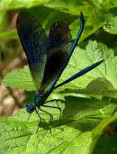 Male_Demoiselle_3