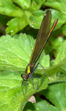 Female_Demoiselle_2