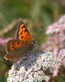 Small_Copper_Butterfly_1