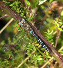 Migrant_Hawker_ Dragonfly