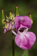 Himalayan Balsam