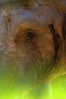 African_Elephant_1