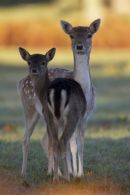 Mother Fallow Doe and Offspring