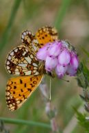 Small_Pearl_Bordered_Fritillary