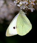 large_White