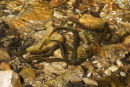 Brook Lamprey