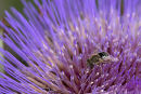 Cardoon_Flower_&_Bee
