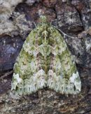 carpet moth
