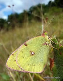 Berger's Clouded Yellow female