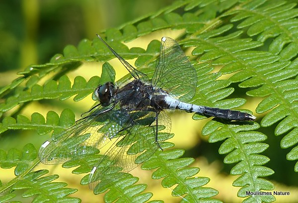 Dainty White-faced Darter (Leucorrhinia caudalis)