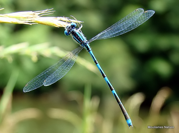 Goblet-marked Damselfly (Cercion lindenii)