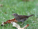 Dunnock juvenile
