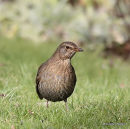 Blackbird 1st-winter female in moult