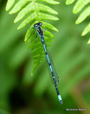 Variable Damselfly (Coenagrion pulchellum)