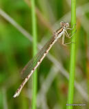 Winter Damselfly (Sympecma fusca)