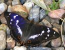 Purple Emperor male