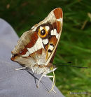 Purple Emperor female