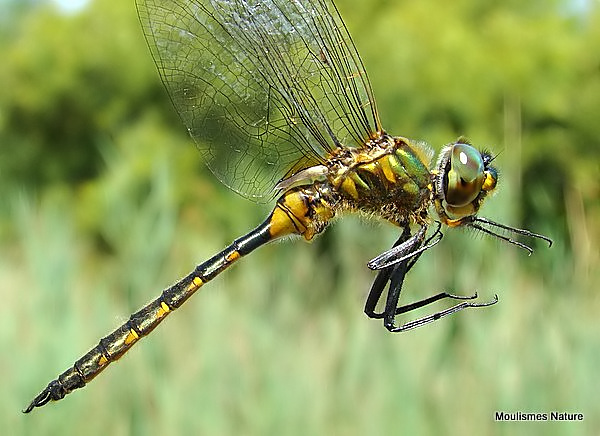 Yellow-spotted Emerald (Somatochlora flavomaculata)